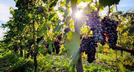 47060459 - ripe wine grapes on vines in tuscany, italy. sun shining through leaves