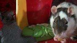 Une Réginoise recueille 100 rats domestiques chez