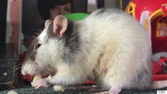 Charmaine Benson, une Réginoise dorlote 100 rats domestiques chez
