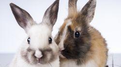 En cette période pascale, l'achat de poussins et de petits lapins est
