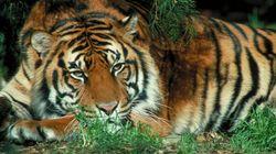 Pour la première fois en 100 ans, le nombre de tigres