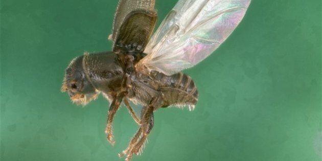 Un autre insecte ravageur de forêts en route vers le
