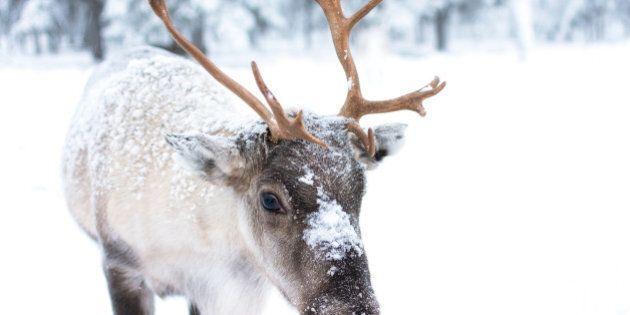 Cute baby reindeer.