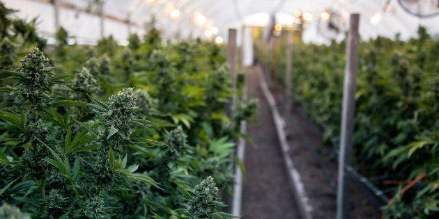 Cannabis: Hydropothicaire sera le fournisseur principal de la Société des alcools du