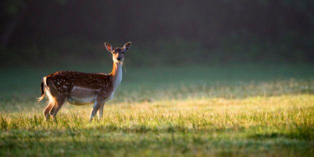 Fallow deer (Dama dama) doe (female) at dawn, Ashdown Forest, Sussex, England