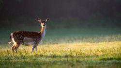 Un jeune cerf croise un chasseur en forêt... et ne le quitte