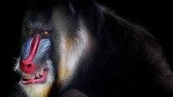 Des babouins s'échappent d'un institut de recherche biomédicale