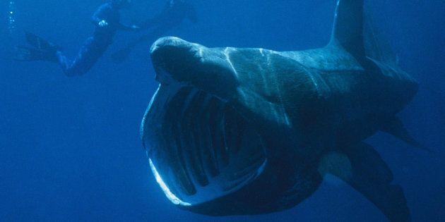 Des centaines de requins pèlerins, normalement solitaires, se regroupent et on ne sait pas