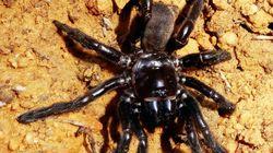 La plus vieille araignée du monde est morte, mais on vous déconseille son secret de