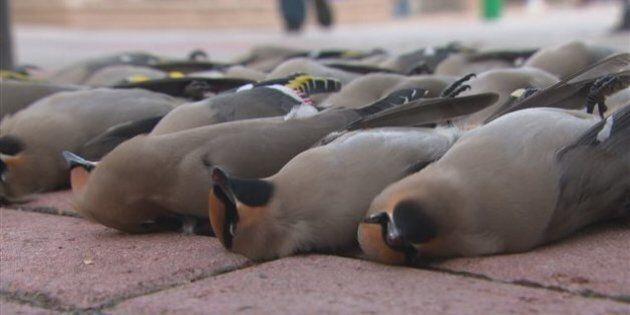Une trentaine d'oiseaux retrouvés morts à l'hôtel de ville