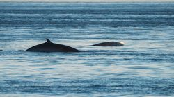 Douze baleines repérées dans une zone fermée à la