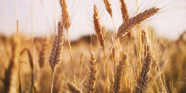 Tokyo et Séoul suspendent les importations de blé du