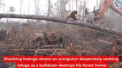 Cet orang-outan défie un bulldozer détruisant sa forêt en