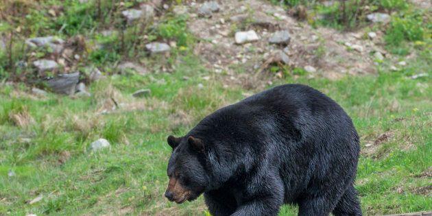 Un vaste réseau de braconnage d'ours noirs démantelé dans le nord-est du
