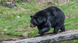 Un vaste réseau de braconnage d'ours noirs