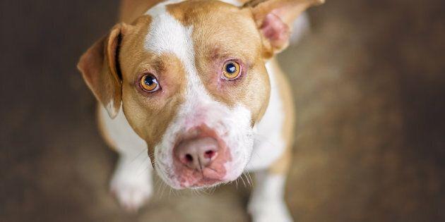 L'attaque de Jade Champagne par un pitbull a relancé le débat sur l'interdiction de ces chiens. (Photo