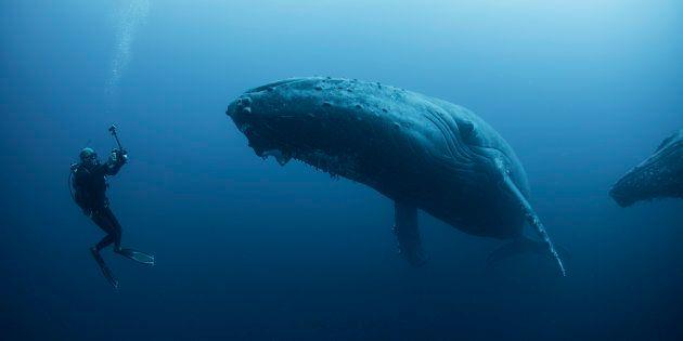 Baleines bleues, panthères noires et tigres blancs, existent-ils