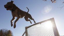 Suspension du règlement sur les chiens de type pitbull : la Ville de Montréal fera appel