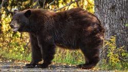 Un ours entre dans une camionnette alors qu'un enfant y est