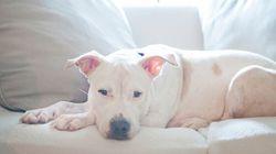 Un permis de pitbull: pourquoi