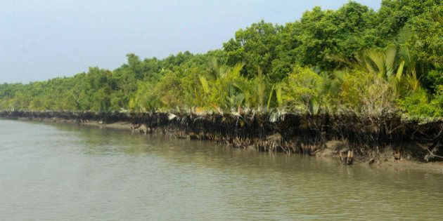 Oil slick cover the roots of a mangrove forest after an oil tanker sank in the Sundarbans, in Joymani...