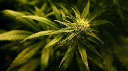 BLOGUE Le cannabis est-il la solution pour réduire la consommation