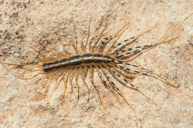 House centipede on the underside of a rock