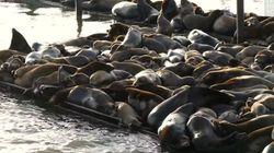 Voici comment se débarrasser des lions de mer envahissants