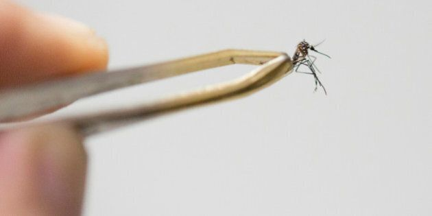 SAO PAULO, BRAZIL - MARCH 04: Aedes aegypti mosquito, the species which transmits the dengue virus, chikungunya...