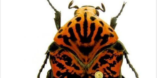 Trois coléoptères nommés d'après les dragons de «Game of