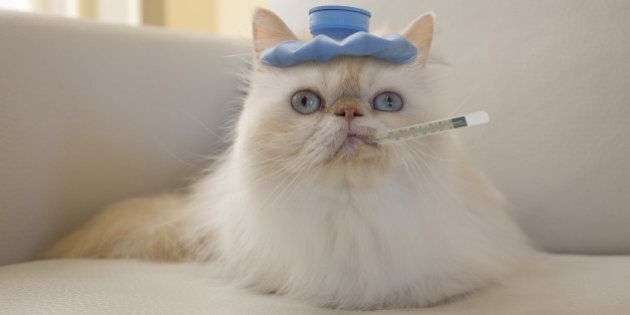 Persian Cat with Hot Water Bottle and Thermometer