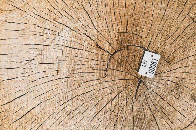 Chêne coupé