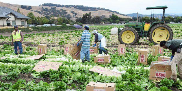 Un champ de laitue romaine, à Salinas, en Californie. Une récente éclosion de E.coli a frappé ce légume récemment. La paralysie partielle de l'administration américaine menace la sécurité alimentaire des deux côtés de la frontière.