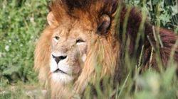 Un lion échappé de sa cage abattu dans un zoo