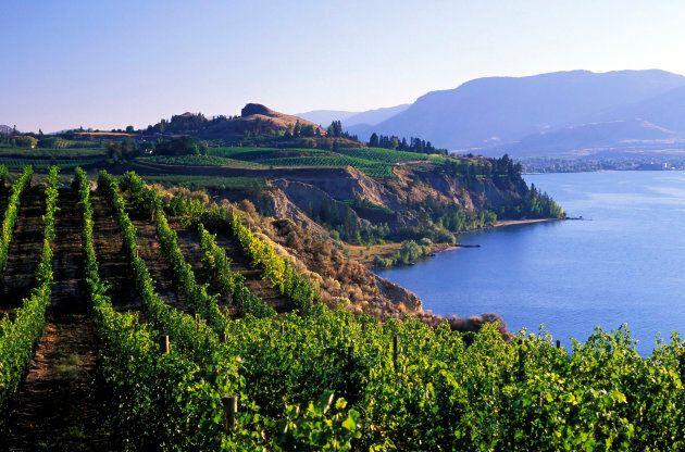 Un vignoble de la vallée de l'Okanagan. Les oenologues de cette région sont moins enclins à établir des...