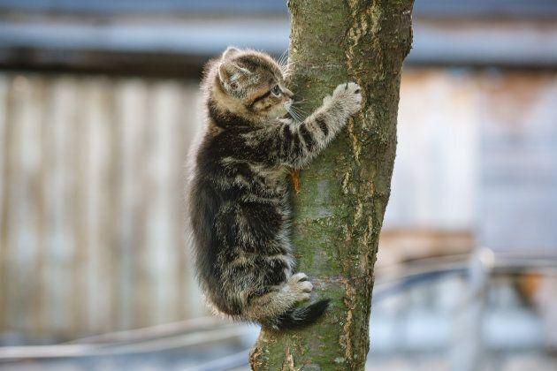 Un chat peut-il descendre d'un