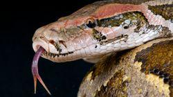 Une Indonésienne avalée par un python alors qu'elle travaillait à son