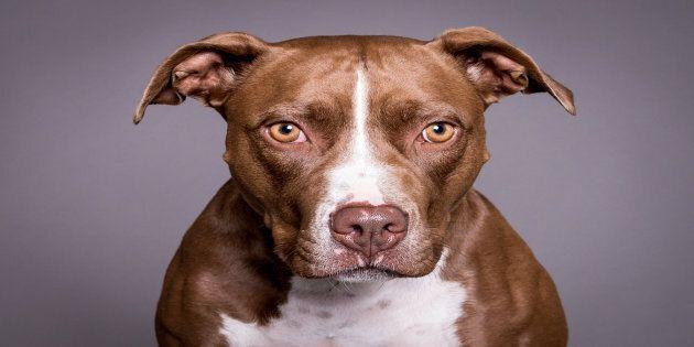 Sondage Léger: l'interdiction des pitbulls divise toujours les