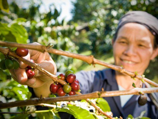 Un producteur de café issu du commerce équitable cueille à la main les grains de café biologiques.
