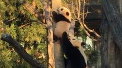 Bei Bei est un petit panda courageux (trop peut-être)