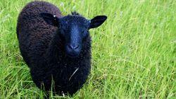 Des moutons noirs chez les