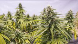 L'élection de Trudeau dope le cannabis médical à la