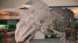 La famille des tricératops