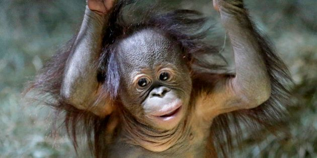 Tuah, the five month-old Bornean orangutan looks on in the Great Ape Building at Utah's Hogle Zoo Friday,...