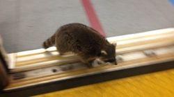 Un raton laveur prend le métro à