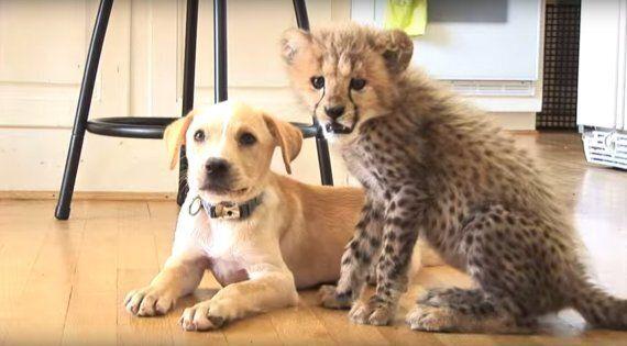Kumbali et Kago, le guépard et le chien devenus amis