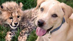 Ce petit guépard et ce chiot sont inséparables