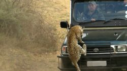 L'attaque impressionnante d'un léopard sur un guide