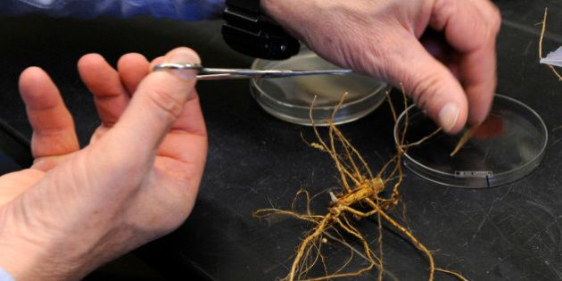 Robert Kremer, a U.S. government microbiologist who studies Midwestern farm soil cuts samples from soybean...