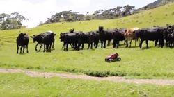 Comprenez pourquoi ces vaches obsédées courent après ce camion téléguidé